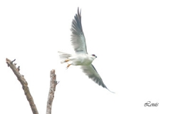 Black-Shouldered-Kite-Dec-2