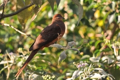 Brown-Cukoo-Dove-July-2011-