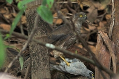 Brown-Goshawk-Dec-2012-1207