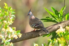 Crested-Pigeon-Nov-2012-103