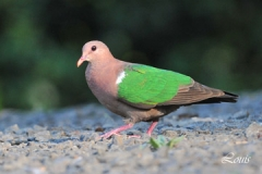 Emerald-Dove-Jan-2013-12849