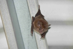 horseshoe-bat