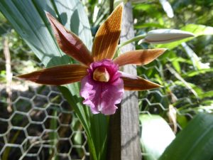 Spectacular single flower of the Swamp Orchid